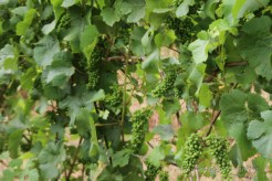 Vines at Montinore Estate