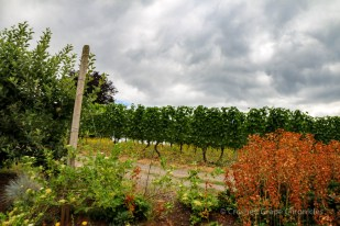 The vineyard at Beckham in mid summer.