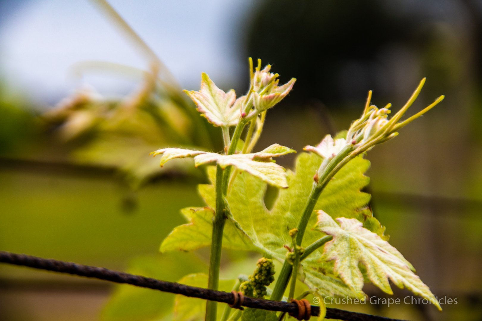 Spring Vines at Coolangatta Estate in the Shoalhaven Coast New South Wales Australia