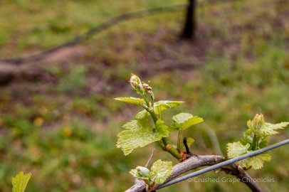 Spring Vines in Tertini's Yaraandoo Vineyard in Southern Highlands New South Wales Australia