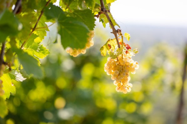 Glera on the vine in the Prosecco DOC - Vendemmia Val D'Oca 2019 - 007 - Photo ©Mattia Mionetto courtesy Val DOca