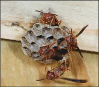 Small wasp nests are more easily treated with Cryonite than large nests.