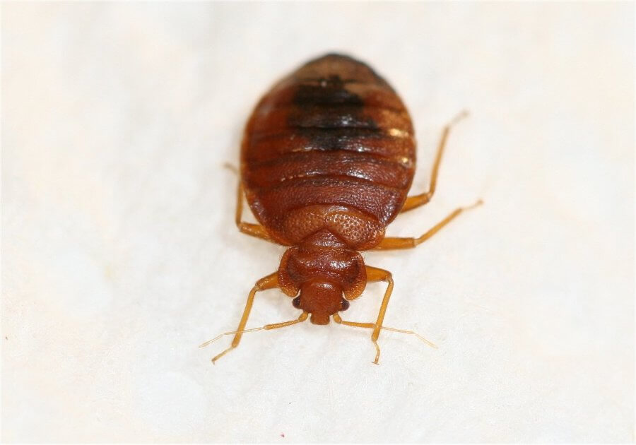 how long do bed bugs live?