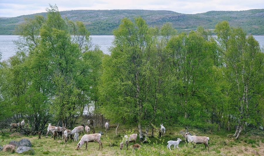 Reindeer on a farm outside Kirkenes, Norway.