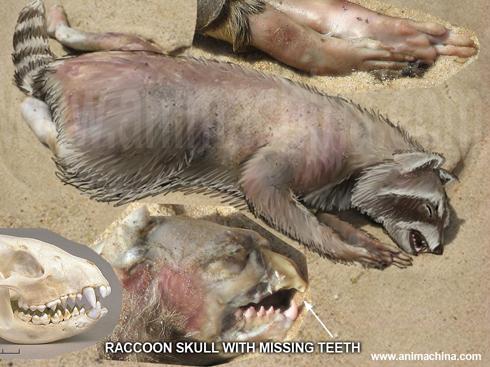 montauk-raccoon-composite.jpg