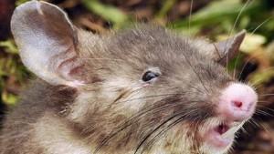 rat à nez plat