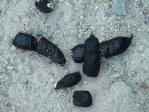crottes de Bobcat