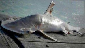 nouveau requin-marteau