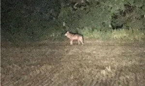 un agriculteur qui roulait en tracteur a aperçu un animal ressemblant fortement à un loup. (Photo : Gaston Origer)