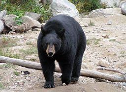 ours noir (par Diane Krauss)