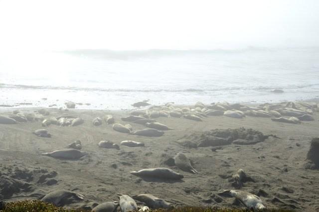 Elephant-Seal-Rookery