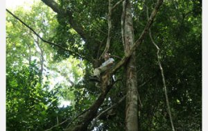 Person in Tree in Thai Rain Forest - Source: Hughes, David. Parasite Manipulation of Host Behavior (Image 5). Digital Image. National Science Foundation, [Date Published Unknown]