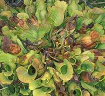 Pitcher Plants - Source: Ellison, Aaron M.. Pitcher plants as models for ecosystem change (Image 1). Digital Image. National Science Foundation, August 2003