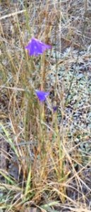 Two delicate purple flowers stick up and out of a climb of dry grass.