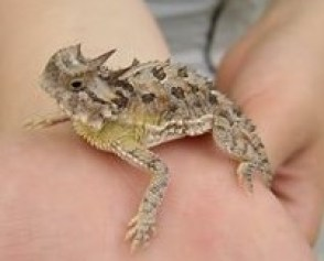 A teenage-sized horned frog is on an arm. It is mostly brown, with black spots, a horn on its head and a light green chest.