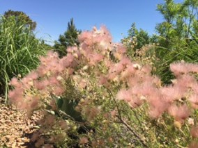 A bush has blossoms that are fuzzy puffs of pink with a blue sky and green scrub trees behind it.
