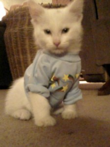 Sitting white kitten in blue t-shirt