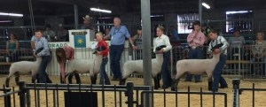 Two boys and two girls in blue jeans and western shirts stand in a row holding their sheep heads as a judge evaluates the animals in a barn ring.