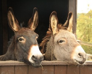 Donkeys like buddies