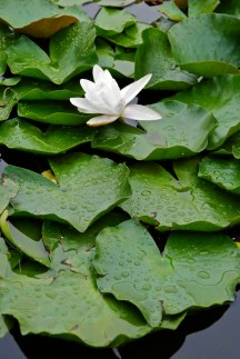 A white lotus flower