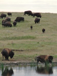 Buffalo drinking from pond near the proposed Dakota Access Pipeline - by C.S. Hagen