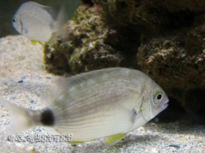 Diplodus annularis-Bio-codep21-2010