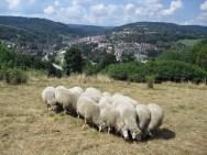 Naše ovce na Velké Homolce