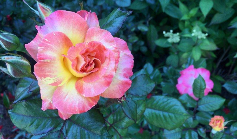 A domestic rose (Flickr: Jeremy Yoder)