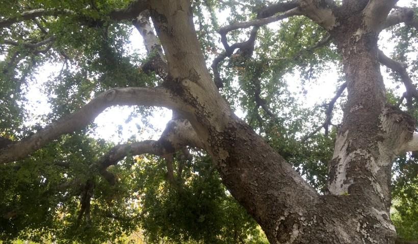 California live oak (photo by Jeremy Yoder)