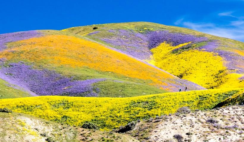 """A spring """"superbloom"""" at Carrizo Plains (Flickr: Bureau of Land Management)"""