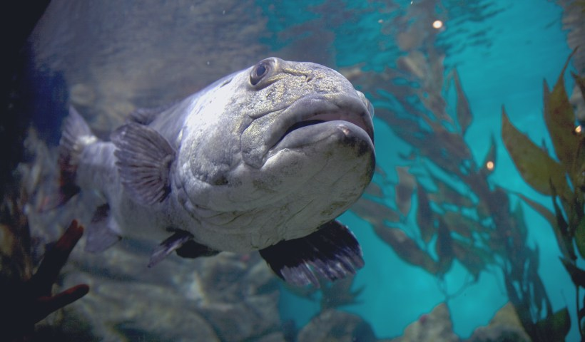 A giant sea bass at the California Academy of Sciences aquarium (Flickr: Caitlin Childs)