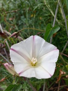A white, trumpet-shaped morning glory flower
