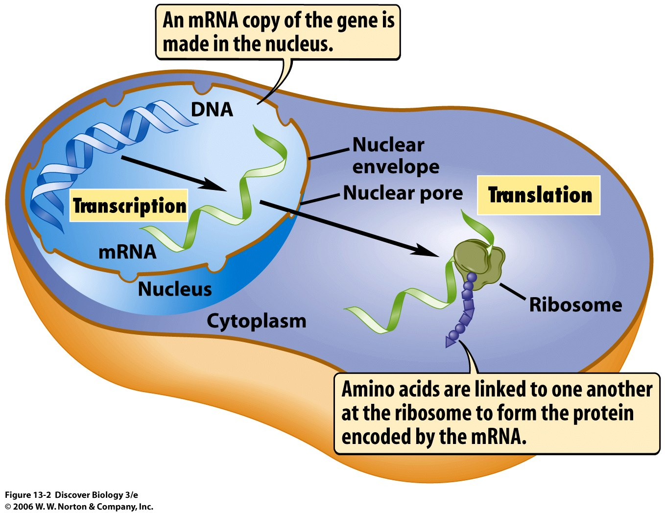 Adding Letters To The Abc Of Dna