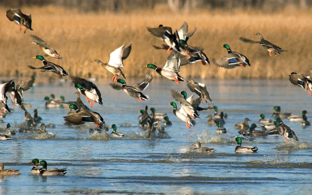 Duck Hunting Diver Tips