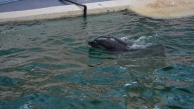 Delfinii au făcut spectacol. FOTO Adrian Boioglu