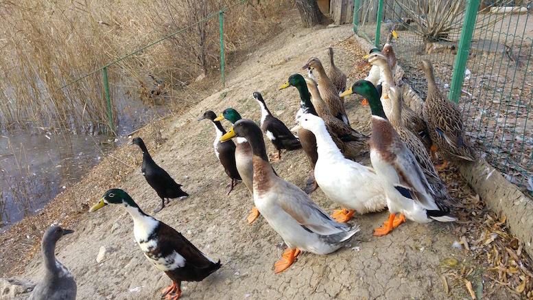 Păsări sălbatice la Microdeltă