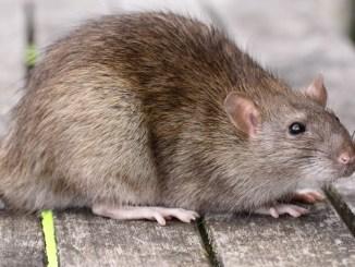 Primăria Constanța, la vânătoare de șobolani