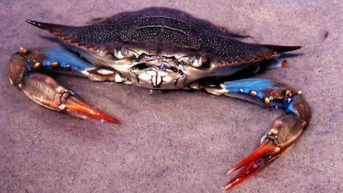 Crabul albastru nord-american. FOTO chesapeakebluecrabs.weebly.com