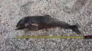 Delfin mort pe o plaja din Navodari. FOTO: ONG Mare Nostrum