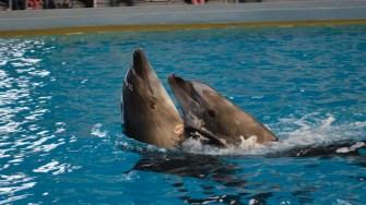 Delfinii pot fi văzuți online și în acest weekend. FOTO Cătălin Schipor