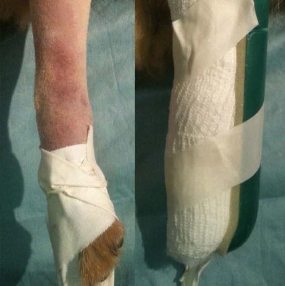 2 - Bendaggio della zampa fratturata