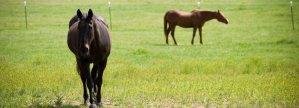 horseheroms