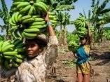 jornaleras-llevan-platanos-durante-una-cosecha-en-un-campo-en-el-distrito-de-burhanpur-madhya-pradesh-india-el-viernes-19-de-octubre-de-2012-sanjit-dasbloomberggetty-images