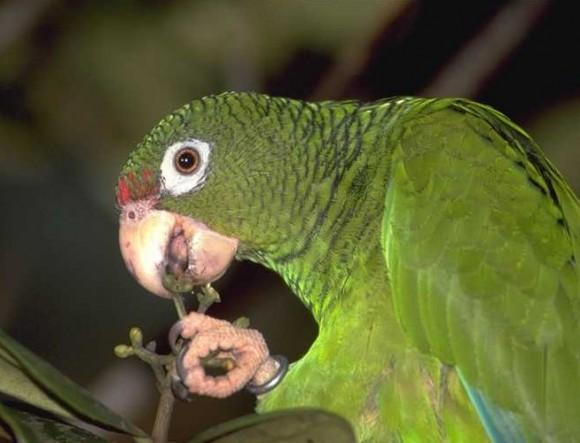 Cotorra cubana (Amazona leucocephala leucocephala, subespecie endémica)