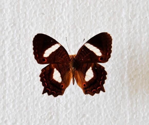 Anartia Chrysopelea. Dibujo de Antonio Guerrero. Foto: Liborio