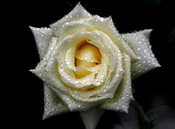 Una rosa blanca en el Tercer Frente Oriental. Foto: Ismael Francisco