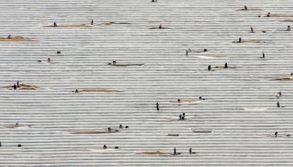 Cosechadores de espárrago trabajando en los campos. Alemania. AP Photo/dapd, Klaus-Dietmar Gabber