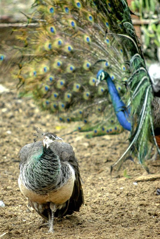 El pavo real (Pavo cristatus), especie oriunda de la India y considerado símbolo de vanidad cuando despliega su cola durante el ritual de apareamiento, es la variedad de ave ornamental en la finca de Don Ángel Calderón, en Gairirabito, ciudad de Holguín