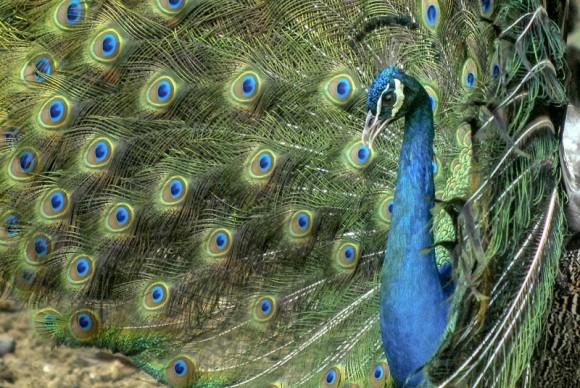 El pavo real (Pavo cristatus), especie oriunda de la India y considerado símbolo de vanidad cuando despliega su cola durante el ritual de apareamiento, es la variedad de ave ornamental en la finca de Don Ángel Calderón, en Gairabito, ciudad de Holguín, el 12 de enero de 2011. AIN FOTO/Juan Pablo CARRERAS