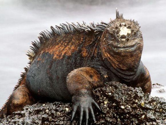 Iguana marina. Foto: Rob Stewart